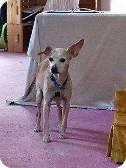 Chihuahua/Whippet Mix Dog for adoption in Maybrook, New York - Max