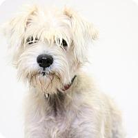 Miniature Schnauzer Mix Dog for adoption in Edina, Minnesota - Tinsley D161610