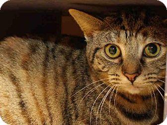 Domestic Mediumhair Cat for adoption in Pittsburgh, Pennsylvania - MIMSY