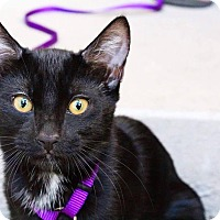 Domestic Shorthair Kitten for adoption in Los Angeles, California - Ichabod