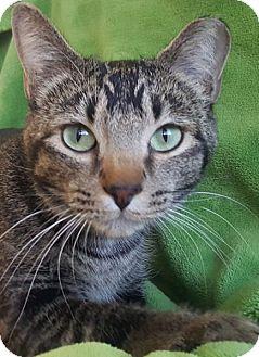 Domestic Shorthair Cat for adoption in Colorado Springs, Colorado - Louie