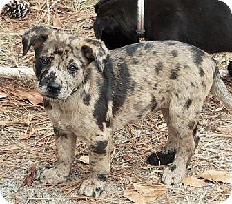 Catahoula Leopard Dog/Mountain Cur Mix Puppy for adoption in Brattleboro, Vermont - Mattie ~ ADOPTED!