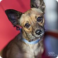 Chihuahua Mix Dog for adoption in Dallas, Texas - Sofia