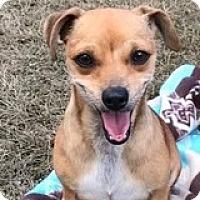 Adopt A Pet :: Chelsea Chowder - Houston, TX
