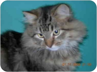 Maine Coon Cat for adoption in Columbus, Ohio - Spencer Tracy