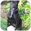 Photo 1 - Labrador Retriever/American Staffordshire Terrier Mix Dog for adoption in El Segundo, California - Sable
