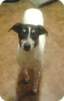 Rat Terrier Mix Dog for adoption in Jacksonville, Florida - Rois