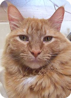 Maine Coon Cat for adoption in Ennis, Texas - Gatsby