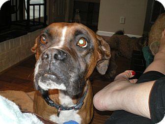 Boxer Dog for adoption in Apex, North Carolina - Annie