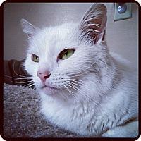 Adopt A Pet :: Snowball - Springfield, PA