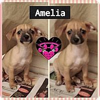 Adopt A Pet :: amelia - Fowler, CA
