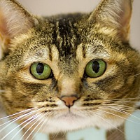 Abyssinian Cat for adoption in Belton, Missouri - Jules