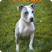 Adopt A Pet :: Georgio - Las Vegas, NV