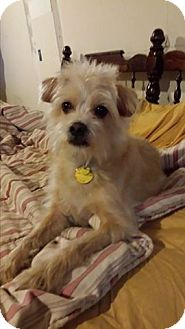 Norfolk Terrier/Cairn Terrier Mix Dog for adoption in Hagerstown, Maryland - Martini