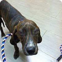 Adopt A Pet :: Rascal - Ijamsville, MD