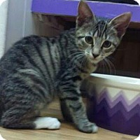 Adopt A Pet :: Bitsie - Richboro, PA