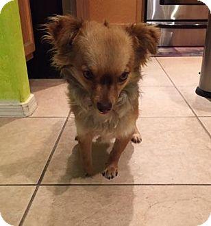 Chihuahua Mix Dog for adoption in Tucson, Arizona - Dixon