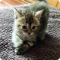 Adopt A Pet :: Qorbie - Austin, TX