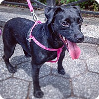 Jack Russell Terrier Mix Dog for adoption in New York, New York - Roxy *Courtesy*