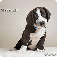 Adopt A Pet :: Marshall - Chandler, AZ