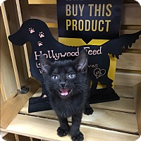 Domestic Shorthair Kitten for adoption in Homewood, Alabama - Jersey