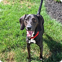Adopt A Pet :: Poppy Sue - New Oxford, PA