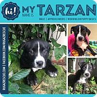 Adopt A Pet :: Tarzan - New Port Richey, FL