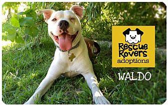 Boxer Mix Dog for adoption in Salt Lake City, Utah - Waldo