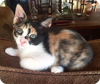 Calico Kitten for adoption in Los Angeles, California - Callie