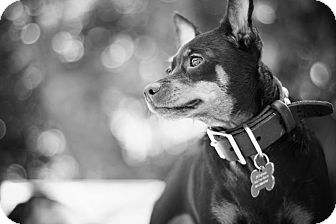 Miniature Pinscher/Chihuahua Mix Dog for adoption in Studio City, California - Banana