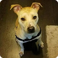 American Pit Bull Terrier Mix Dog for adoption in Chicago, Illinois - Greta Garbo