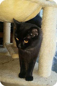 Domestic Mediumhair Cat for adoption in Warrenton, Missouri - Sweet Pea