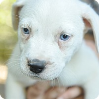 Border Collie/Cattle Dog Mix Puppy for adoption in Pottsville, Pennsylvania - Puppies!