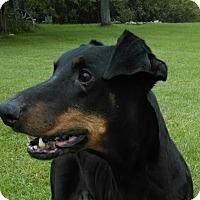 Adopt A Pet :: Puma - Lafayette, IN