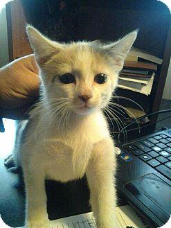Calico Kitten for adoption in Greensburg, Pennsylvania - Kitten Boy & Girl