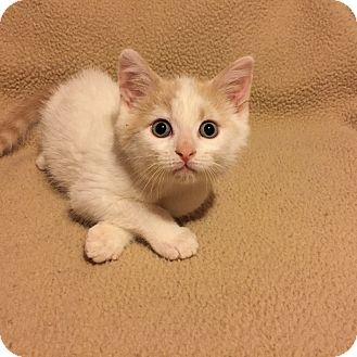 Domestic Shorthair Kitten for adoption in Woodstock, Ontario - Charley