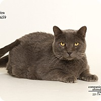 Russian Blue Cat for adoption in Baton Rouge, Louisiana - Moira