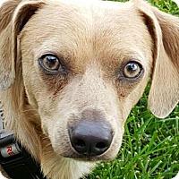 Adopt A Pet :: Charlie - Valley Village, CA