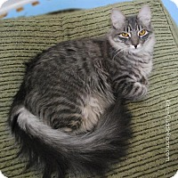 Maine Coon Cat for adoption in Los Angeles, California - Hailey