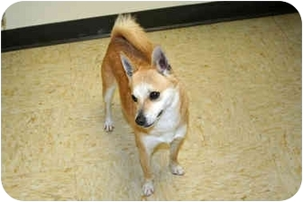 Chihuahua/Shiba Inu Mix Dog for adoption in Racine, Wisconsin - Peanut