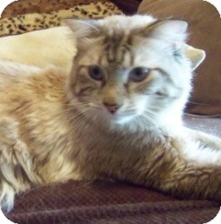 Ragdoll Kitten for adoption in Ennis, Texas - Jazz