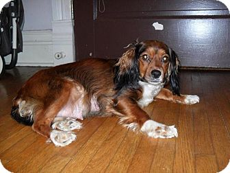 Cavalier King Charles Spaniel/Silky Terrier Mix Dog for adoption in Hagerstown, Maryland - Lady Bug
