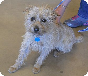 Terrier (Unknown Type, Small) Mix Dog for adoption in Wickenburg, Arizona - Molly