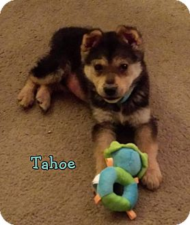 Shepherd (Unknown Type) Mix Puppy for adoption in Lincoln, Nebraska - TAHOE