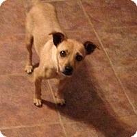 Adopt A Pet :: Macy - Garland, TX