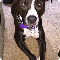 Adopt A Pet :: Tyson **Courtesy Cupid** - West Allis, WI