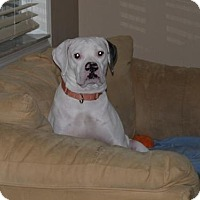 American Bulldog Dog for adoption in Bradenton, Florida - Bessie