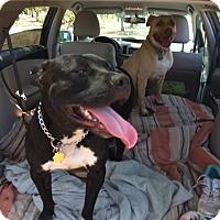 Adopt A Pet :: Jax - Sacramento, CA