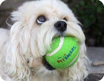 Cockapoo Dog for adoption in El Segundo, California - Bella