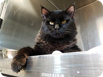 Domestic Mediumhair Cat for adoption in La Crescent, Minnesota - Vader *Sith Lord